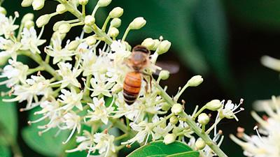 自然交配による元気なミツバチを育成